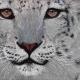 snow-leopard-800x458