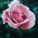roseweb
